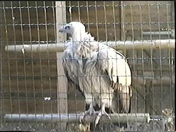 1998.09.19-005 vautour de l'Himalaya