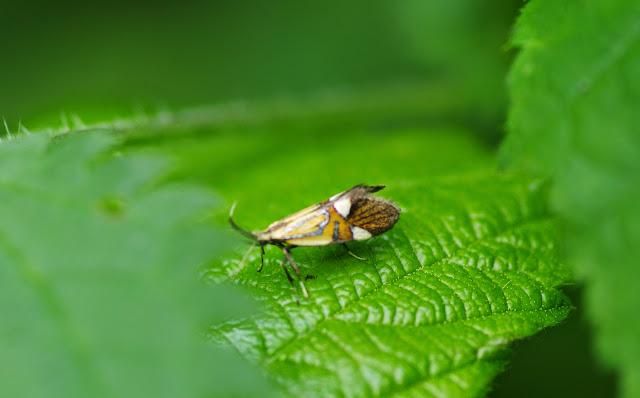 Oecophoridae (discuté) : Oecophorinae : Alabonia geoffrella (L., 1767). Les Hautes-Lisières (Rouvres, 28), 10 juin 2013. Photo : J.-M. Gayman