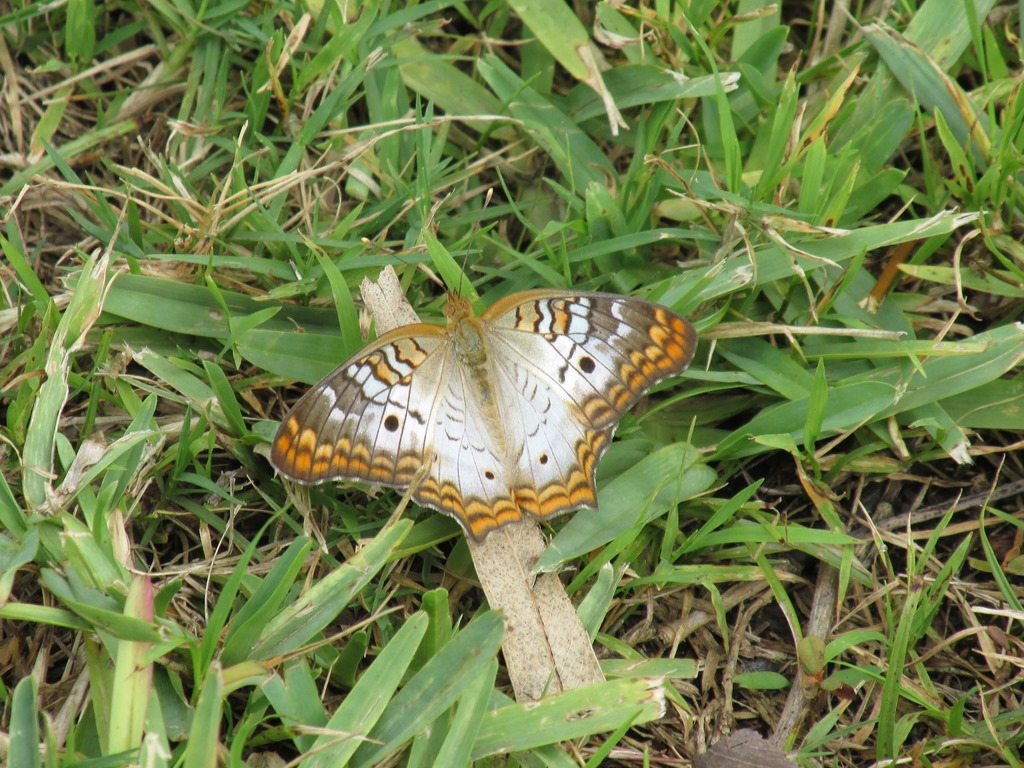 [2017-05-05+Florida%2C+Stuart+-+White+Peacock+Butterfly+%282%29%5B5%5D]