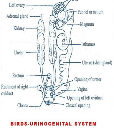 bird-urinogenital-system