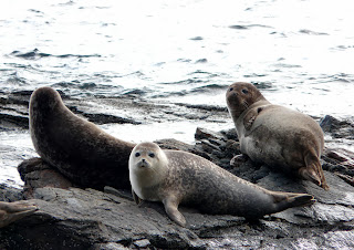 Seals, Foula Harbour, Shetland
