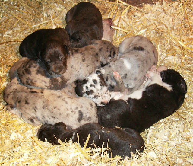 Thelma's litter @ 3 weeks