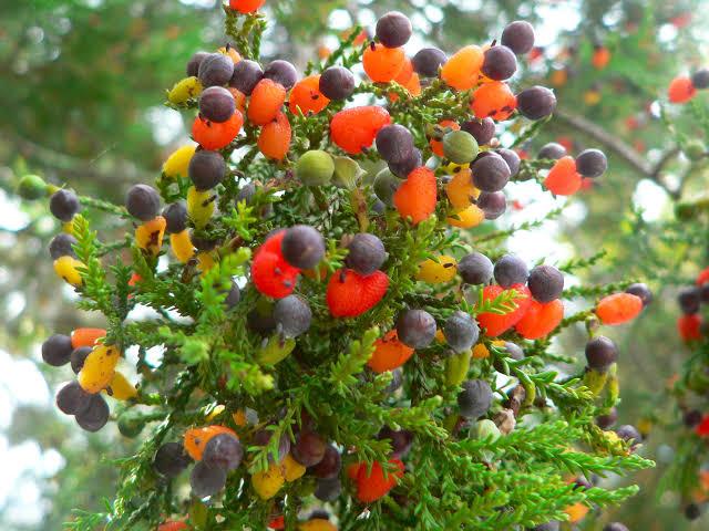 دنیا کا 40 پھل دینے والا جادوئی درخت