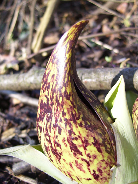 Skunk Cabbage in early spring