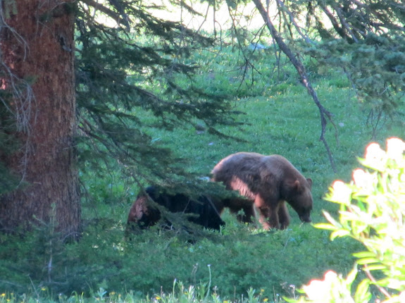 Mama and baby bears foraging