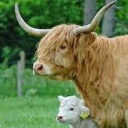 к чему снится бык с большими рогами?