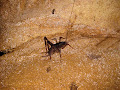 Cave cricket in Pendant Cave | photo © Matt Kirby