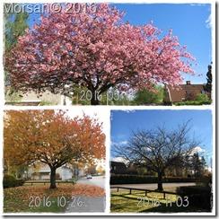 Körsbärsträd2016
