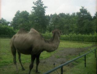1982.07.15-034.09 chameau