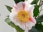 白色地 鮮紅色縦絞り 一重 椀〜平開咲き 中〜大輪