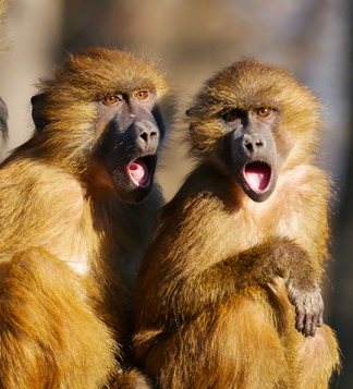monkeys singing