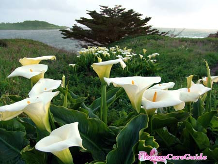 Splitting Calla Lilies – Time and Method to Split Calla Lilies