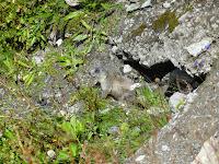 Marmotton curieux