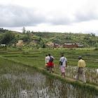 Andranovory, rizières