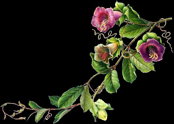 Flores Blancas Png 800 600: Discussão: ┈━═ ☆ Enfeites De Flores