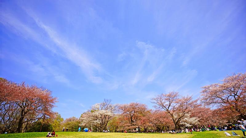 昭和記念公園 桜 写真5