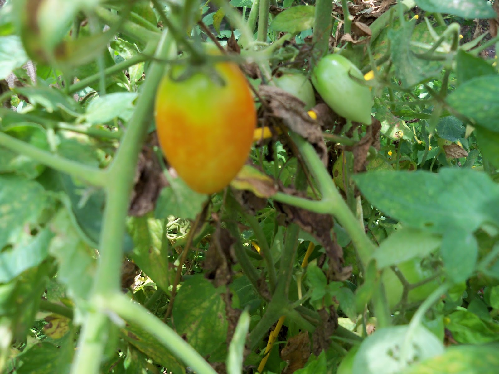 Gardening 2015 - 116_9407.JPG