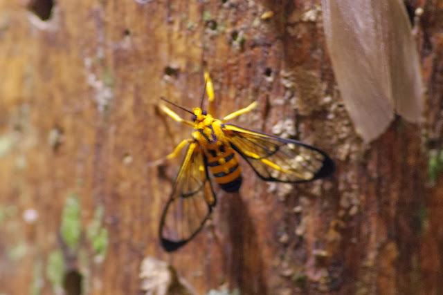 Arctiidae : Euchromiini : Loxophlebia nomia DRUCE. Los Cedros, 1400 m, Montagnes de Toisan, Cordillère de La Plata (Imbabura, Équateur), 20 novembre 2013. Photo : J.-M. Gayman
