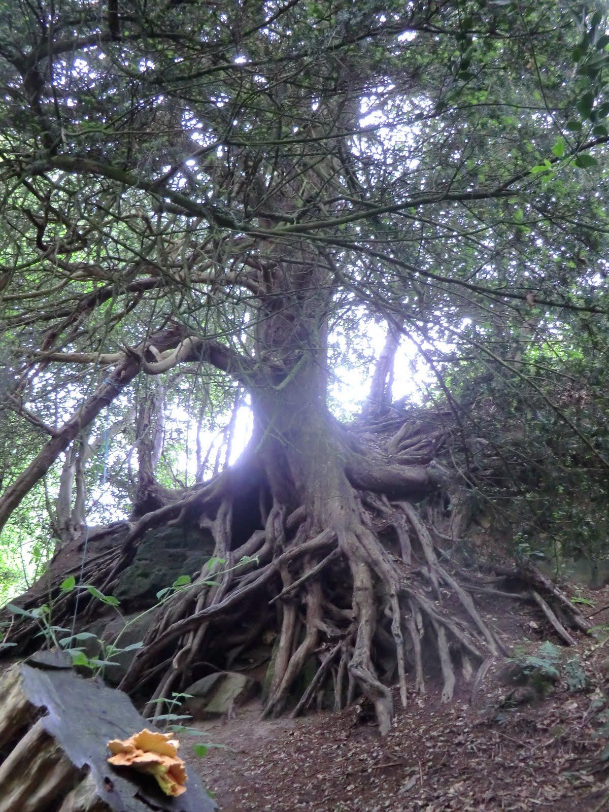 CIMG8587 Old yew tree, Southborough Common