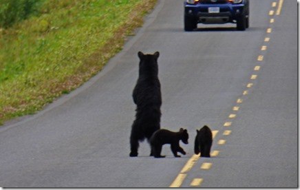 Mama Bear protecting Cubs, Cassiar Highway