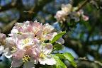 Apple blossoms.