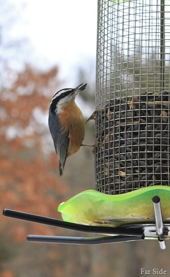 Nuthatch Jan 28