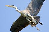 Heron - Makkum, the Netherlands