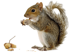 squirrel_PNG15808