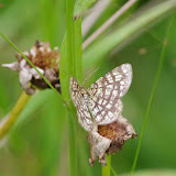 Geometridae : Ennominae : Chiasmia clathrata (LINNAEUS, 1758). Les Hautes-Lisières (Rouvres, 28), 5 juillet 2012. Photo : J.-M. Gayman
