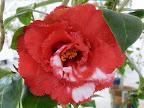 紅色地 白斑入り 八重〜牡丹咲き 鋸歯弁 中〜大輪