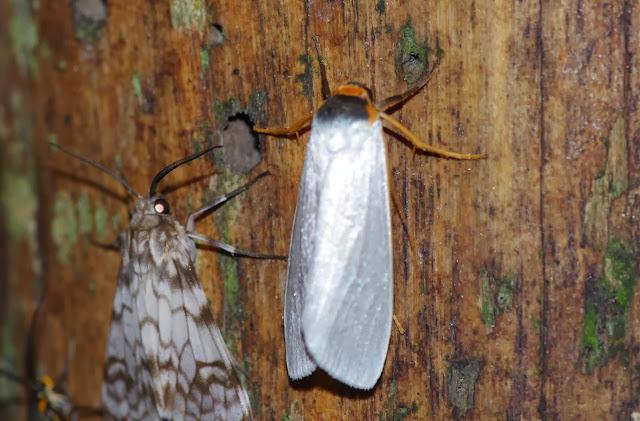 À gauche : Ennominae : Parallage sp. À droite : Lithosiinae : Macrocrambus plateada DOGNIN, 1894 (?). Los Cedros, 1400 m, Montagnes de Toisan, Cordillère de La Plata (Imbabura, Équateur), 18 novembre 2013. Photo : J.-M. Gayman