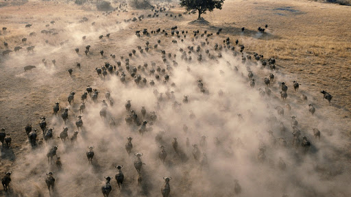 Aerial View of a Herd of African Buffalo, Botswana.jpg