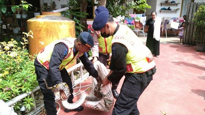 Tim Respons Bencana Brimob Evakuasi Ular Piton yang Masuk ke Rumah Warga di Balikpapan