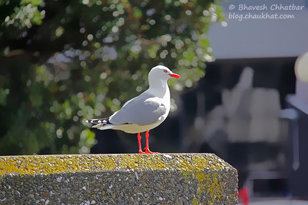 A seagull taking a tan at Frank Kitts Park at Wellington [New Zealand]