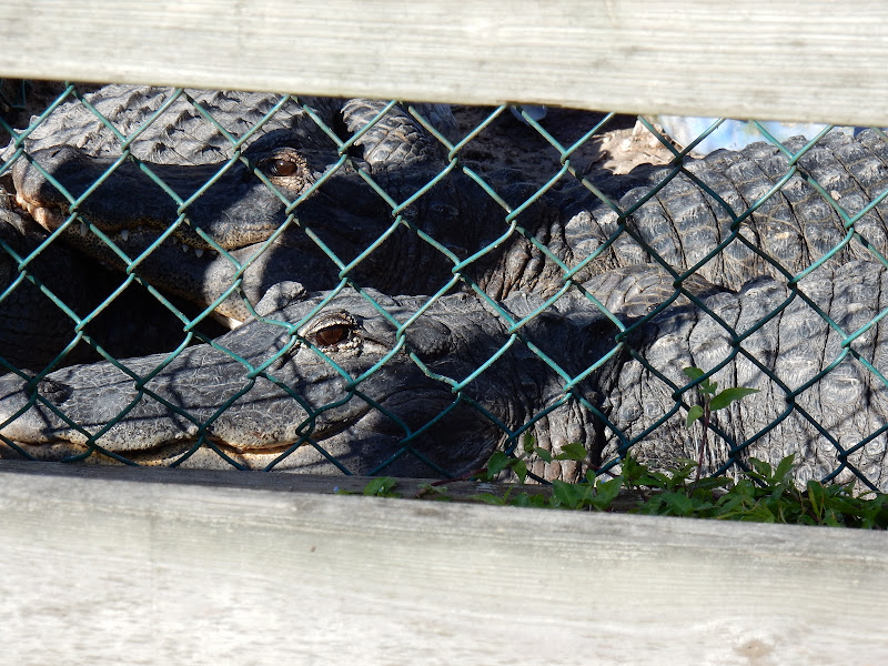 Crocodiles, alligators, Everglades National Park, Florida, US, Miami,  elisaorigami, travel, blogger, voyages, lifestyle