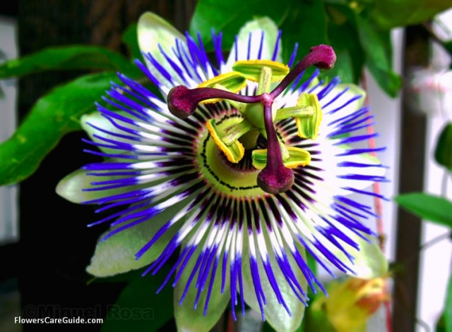 Make Your Own Tropical Style Garden by Growing Passion Vine Flowers