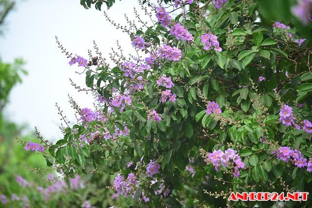 Phố Hà Nội tím biếc mùa hoa bằng lăng