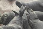 CA SENT DES PIEDS ! Phoques gris à la Baie des Marigots