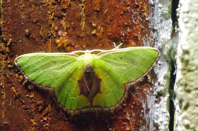 Synchlora astraeoides (Warren, 1901). El Valle de las MInas, 1100 m (Chiriquí, Panamá), 27 octobre 2014. Photo : J.-M. Gayman