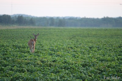 Deer in the bean field one