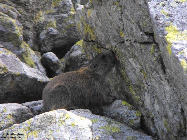 marmote in Retezat