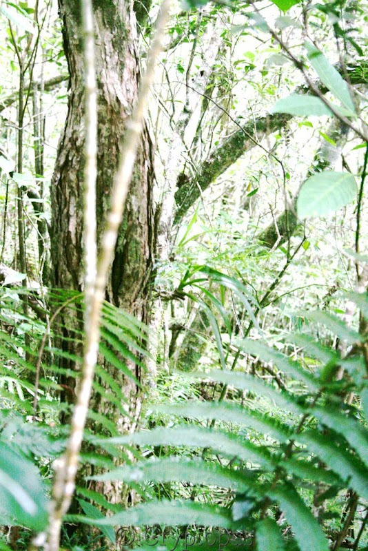 Orchidées in situ, sur l'ile de la Réunion IMG_2114