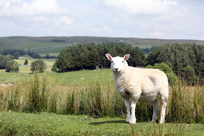Sheep in the Eden Valley in Cumbria England