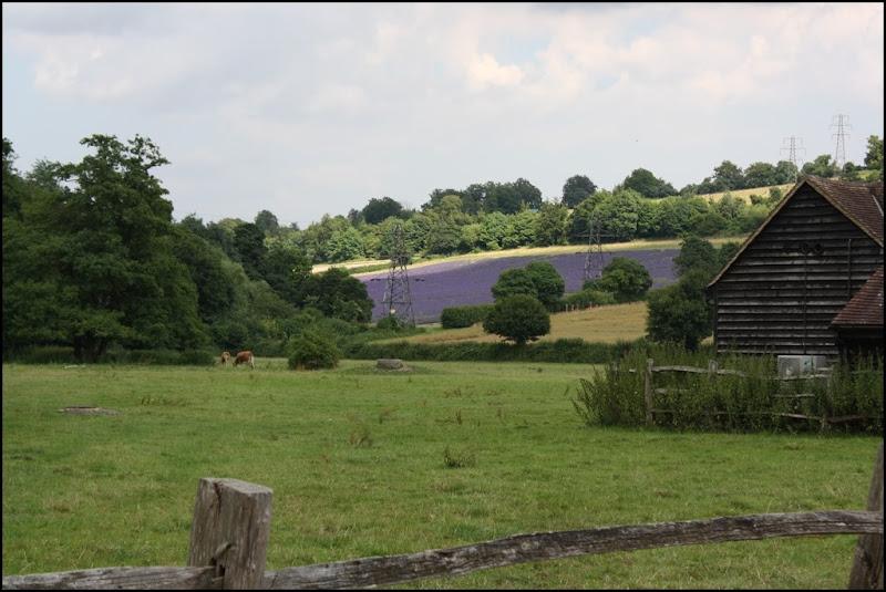 Castle Farm Lavender
