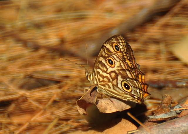 Geitoneura acantha (DONOVAN, 1805). Umina Beach (New South Wales, Australie), 12 mars 2011. Photo : Barbara Kedzierski