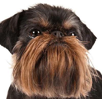 كلب جريفون معلومات شاملة عن كلاب الجريفون نشأتها ومميزات وعيوب وأمراض الجريفون | Brussels Griffons