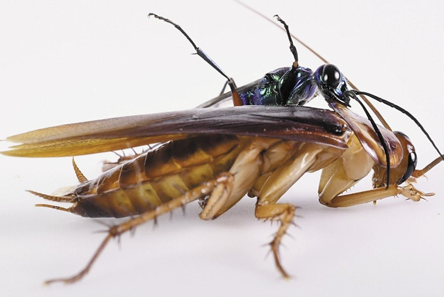 emerald-wasp-cockroach-4