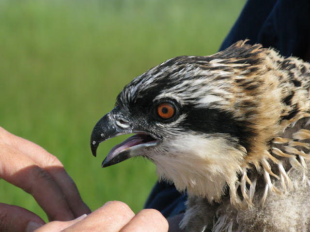 Osprey Banding - Pictures%2B108.jpg