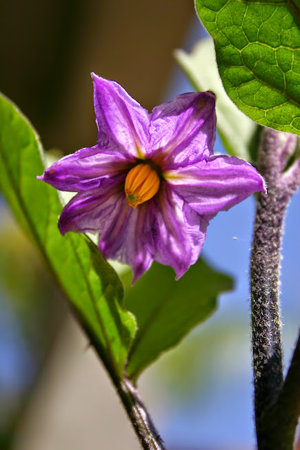 Orient Express Eggplant Blossom