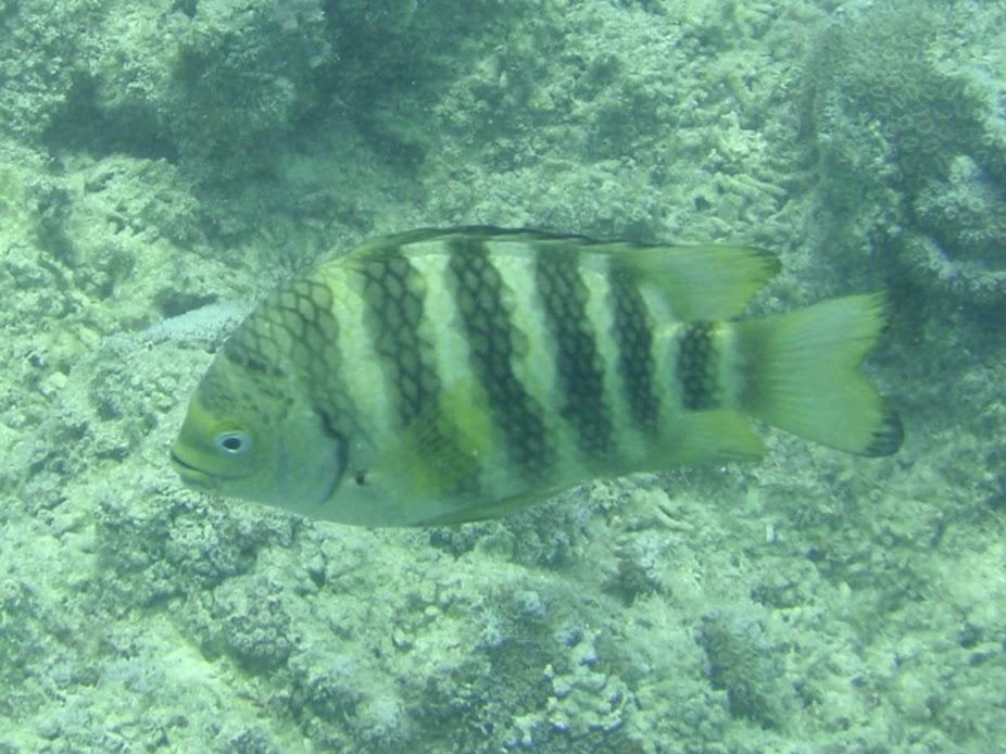 Abudefduf septemfasciatus (Banded Sergeant Damselfish), Rarotonga.